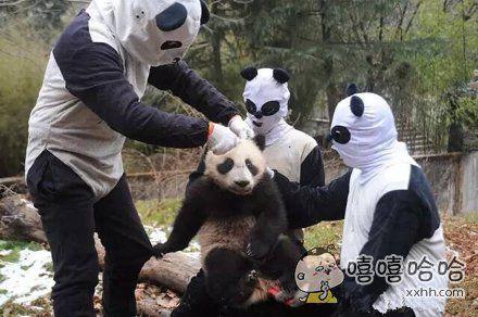 熊猫这样子理发