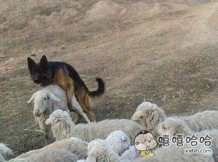 老子辛辛苦苦驯养你半年,你就是这样牧羊的?