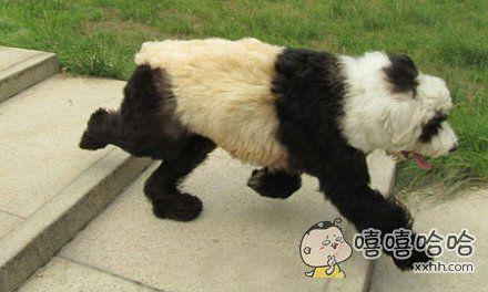 那只狗!你为什么要假扮熊猫!!