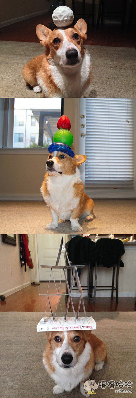 一网友偶然发现自家狗狗有顶东西平衡的天赋,就想试一下它到底能有多厉害。一试才发现,嗯,真的很厉害