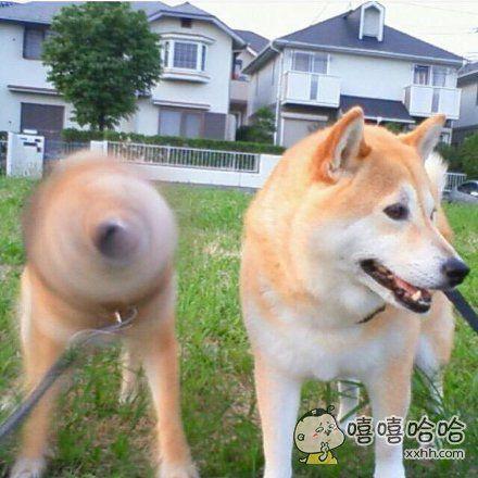 一只电钻柴犬和一只普通柴犬