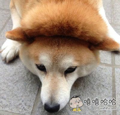 这柴犬的脑门肉是有多厚,能整出个夹层来啊!
