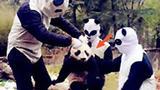 笑尿了!原来熊猫这样理发的