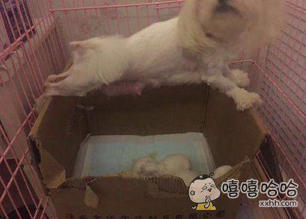 狗狗不想喂奶,撑在箱子上拒绝