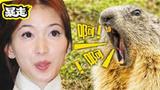 土拨鼠才是动物界的网红新秀
