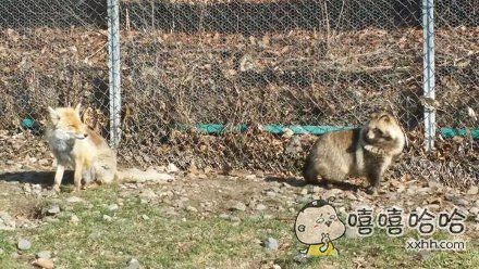 去野生动物园游玩,刚好看到一只狐和一只狸擦肩而过,然后又同时回眸,久久地凝视对方……爱情来得太快就像龙卷风