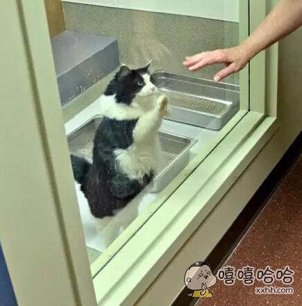 13岁的它非常渴望重新被爱,在收容所的时候,只要有人经过,它就会用猫爪拍着窗户,试图引人注意,希望有人能够抱抱、摸摸它。