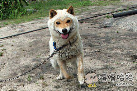 一只外形酷似羊的狗狗