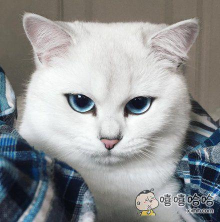 一只深蓝色眼睛的喵,眼神冷峻,但偶尔卖起萌来也是让人忍不住的想献上鱼干
