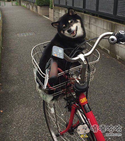 日推上一柴犬得知要被主人带去兜风,开心得成了表情包