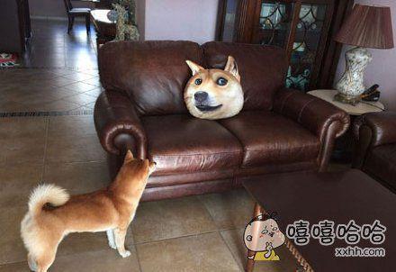 朋友买了doge的抱枕,然后他家的柴懵了!