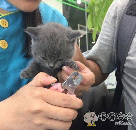 被剪指甲不开心的小猫咪,感受到这股杀气了吗!