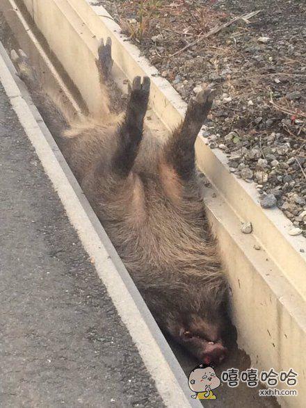 早起上山散步,猛地在路边发现一只野猪。。。又心疼又忍不住笑