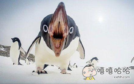 企鹅张开嘴的一瞬间,我对它的爱减少了一半