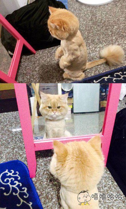 喵星人剃完毛之后。。。。。在镜子前照了很久。。。。。眼神中充满了悲愤!真是大写的心疼!