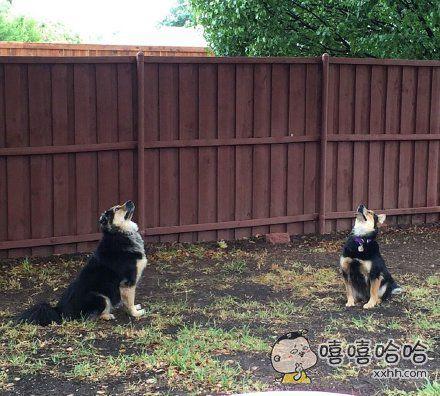 """网友家的狗狗自从看见一只松鼠从树上跳下来后,表情凝重的像看到了UFO,兄弟俩就开始蹲在院子里,45度望天寻找那位""""天外来客""""。。。"""
