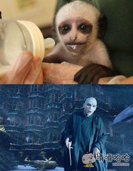 一只刚刚出生在英国德文郡动物园的黑白疣猴宝宝,竟然长了一张魔王脸,这真的不是哈利波特里的那谁吗