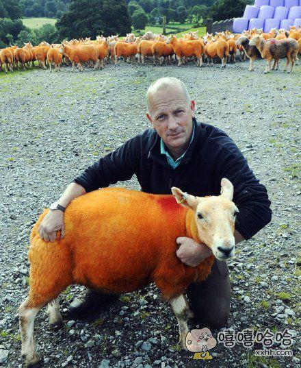 英国男子为防止羊被盗,将800只羊喷成橙色~
