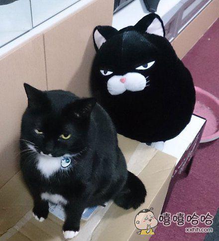 从娃娃机里抓回来一只和自己家长得一毛一样的猫咪