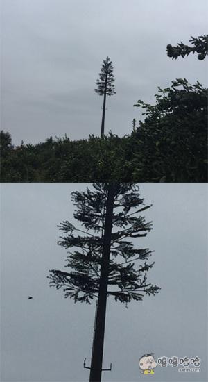 远远看着好高的一棵树啊,走近一看,卧槽原来是棵假的……