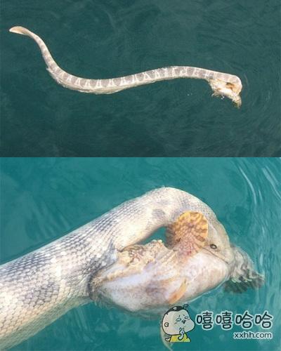 一条海蛇在捕食鱼时双方较量,有剧毒的海蛇咬住了石头鱼,有剧毒的石头鱼也咬住了海蛇,于是……双方都被对方毒死了……来啊,互相伤害啊