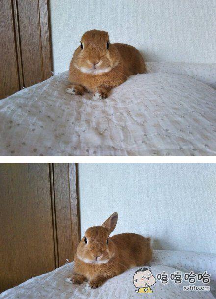 """推主tsuyukusa家小兔子听到:""""咦,你的耳朵怎么了?""""后的反应,萌死了"""
