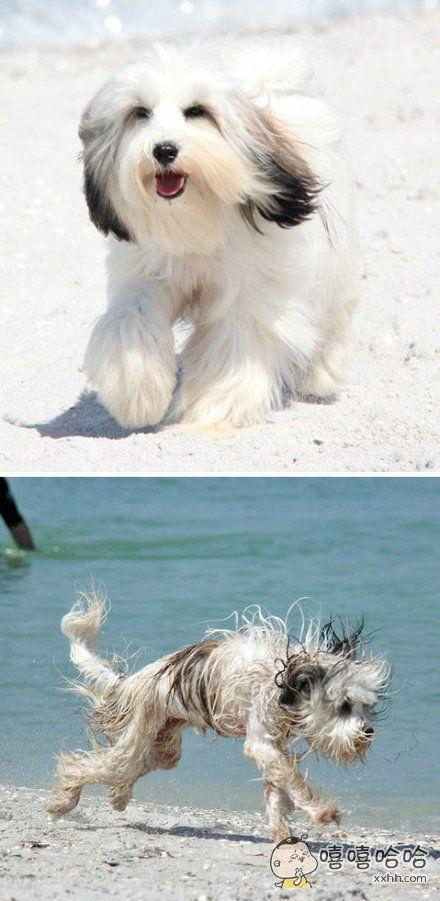 终于明白西施狗为什么都那么害怕下水了!