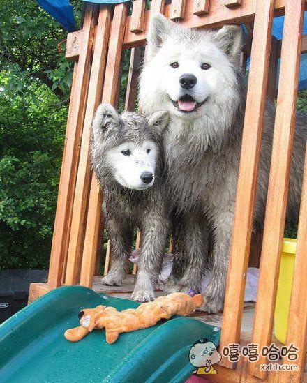 萨摩耶应该是特别要面子的狗子,因为身上再脏,脸还是雪白的!也许掌握了独门秘技!