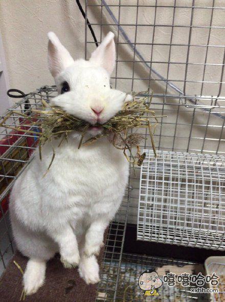 蠢兔以为再也没得吃了,叼着心爱的草不撒嘴,还保持着这个状态去吃兔粮。。。简直萌上天了