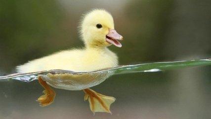 可爱的小鸭图片