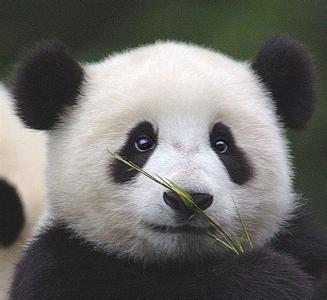 壁纸 大熊猫 动物 327_300