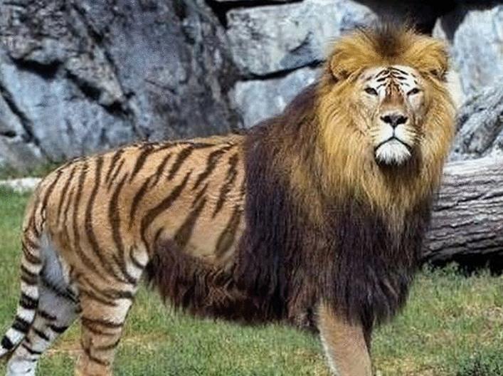 做梦梦到老虎和狮子_周公解梦梦见村里来了怪兽似老虎