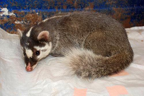 2,鼬科,不熟悉动物的人喜欢把鼬科的都当作黄鼠狼(黄鼬),常见的鼬科