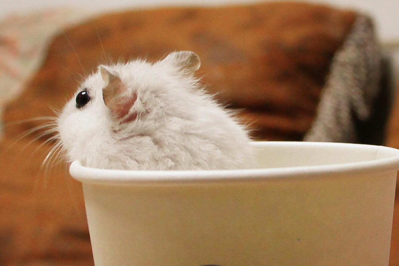 我的公仓鼠尿出白色的东西,但不是液体,这是怎么回事?
