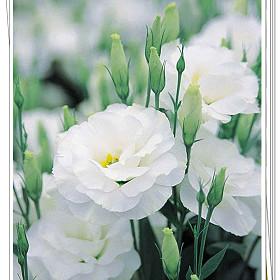 花朵图片及花语