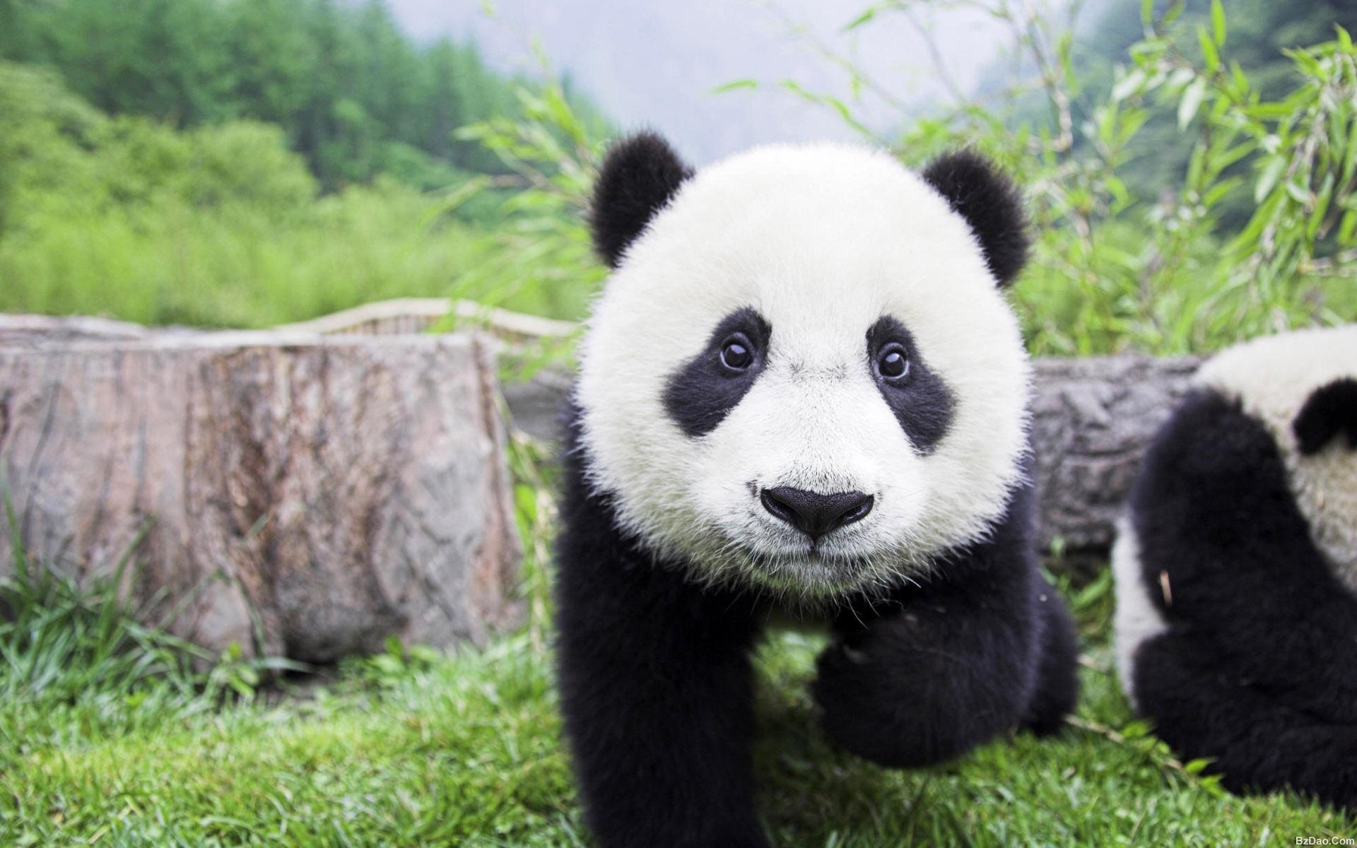 壁纸 大熊猫 动物 1920_1200