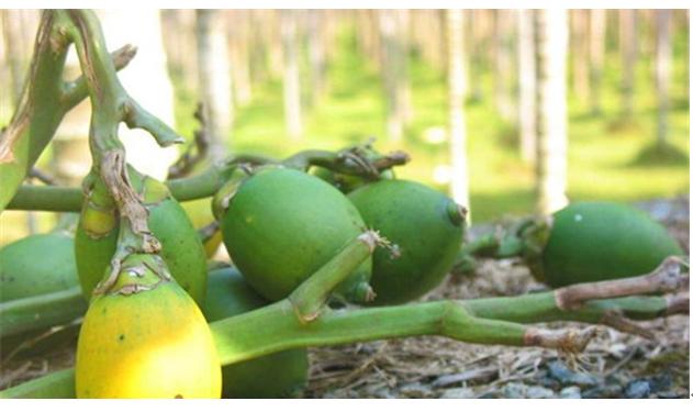 吃槟榔有什么好处 咀嚼槟榔将会致癌图片