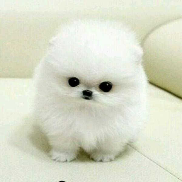 茶杯狗,我可爱的小白球